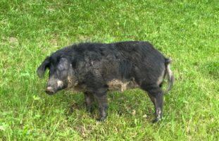 Schwein Anhänger Appenzell