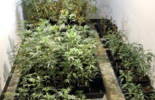 Wädenswil ZH - Hanf-Indooranlage mit rund 1000 Pflanzen ausgehoben