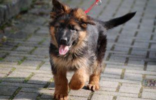 Thayngen SH - Hundewelpen illegal eingeführt