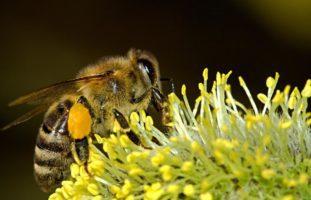 Bekämpfung der Bienenseuche in Riehen BS