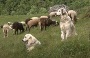 Graubünden GR - Wölfe reissen Tiere auf den Alpen