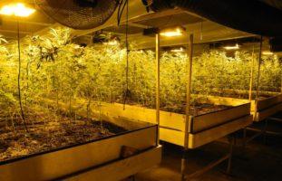 Rothenthurm SZ - Drogenhanf statt legales CBD Hanf angebaut